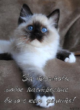 Анимация Сиамский котенок с голубыми глазами/За то,чтобы любое настроение было с кем делить/Олечка/