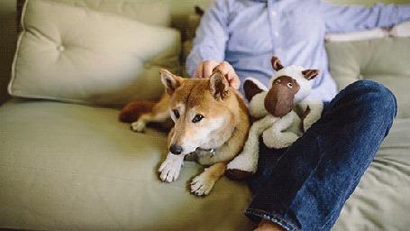 Анимация Мужчина сидит на диване рядом с собакой породы шиба - ину и гладит ее (© Seona), добавлено: 04.08.2015 13:15