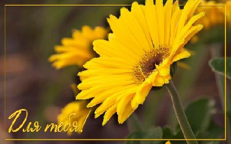 Анимация На картинке с желтой блестящей ромашкой надпись Для тебя! (© Solnushko), добавлено: 04.08.2015 16:54