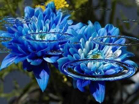 Анимация Голубые цветы в воде (© zmeiy), добавлено: 04.08.2015 19:53