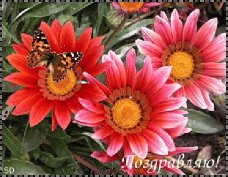 Анимация Бабочка сидит на цветке (Поздравляю!)