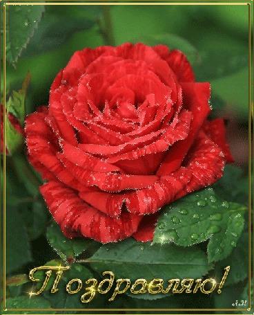 Анимация Красная роза (Поздравляю) (© qalina), добавлено: 06.08.2015 17:28