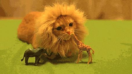 Анимация Рыжий кот похожий на льва играет с игрушкой