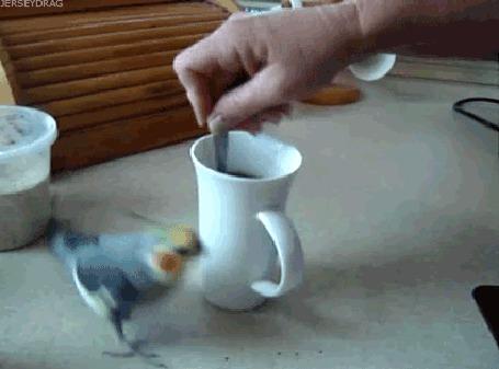Анимация Попугайчик бегает вокруг чашки кофе (© phlint), добавлено: 08.08.2015 08:06