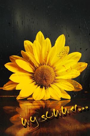 Анимация Подсолнух на фоне дождя с отражением / Ksu / (© qalina), добавлено: 08.08.2015 15:32