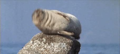 Анимация Икающий тюлень на камне