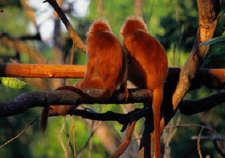 Анимация Две обезьяны сидят на ветке, одна из которых трогает другую своим хвостом (© zmeiy), добавлено: 15.08.2015 06:13