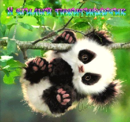 Анимация Маленький панда висит на ветке (Я милый позитиффчик) (© Bezchyfstv), добавлено: 18.08.2015 21:39