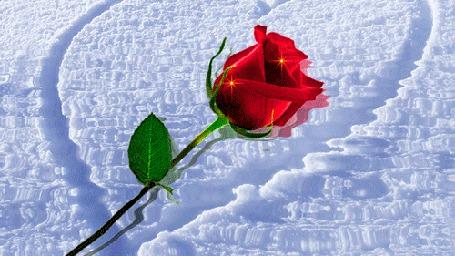 Анимация Красная роза на воде