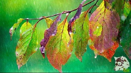 Анимация Первый осенний дождь на меняющие свой цвет листья дерева (© Akela), добавлено: 20.08.2015 04:10