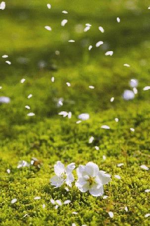 Анимация Лежащие на траве белые цветы с дерева и летящие лепестки (© Solist), добавлено: 21.08.2015 13:12