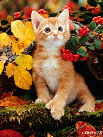 Анимация Милый рыжий котенок на фоне рябины / АКЕЛА/ (© qalina), добавлено: 22.08.2015 10:43