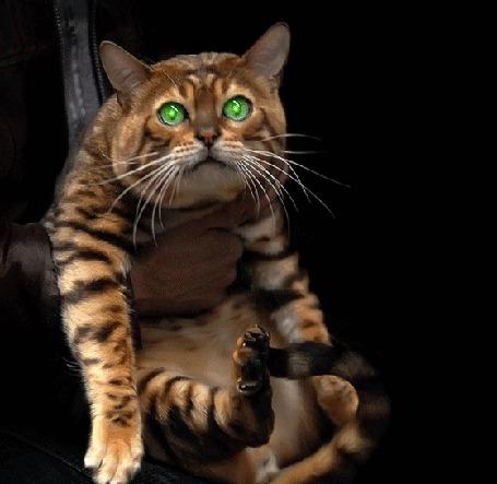 Анимация Человеческие руки держат полосатого кота, со сверкающими зелеными глазами