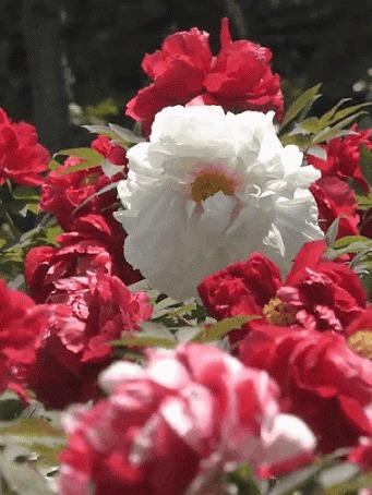 Анимация Розовые и белая розы колышутся от ветра