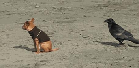 Анимация Наглая ворона и собака в одежде (© JeremeVoods), добавлено: 29.08.2015 08:06