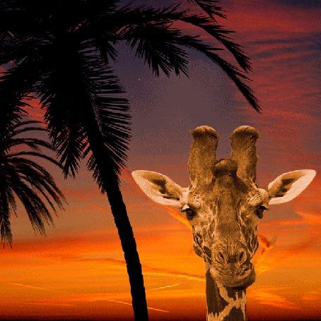 Анимация Жираф днем и ночью на посту под пальмами (© Миропия_Мира), добавлено: 06.09.2015 08:37