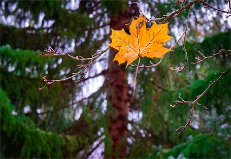 Анимация Желтый кленовый лист лист падает на фоне хвойного дерева (ОСЕНЬ) (© Миропия_Мира), добавлено: 07.09.2015 08:50