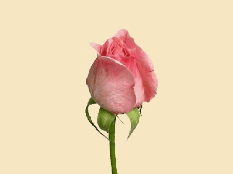 Анимация Розовая роза распускается