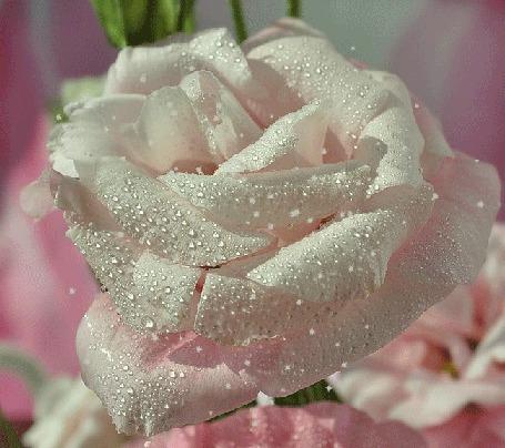 Анимация Белая роза в каплях росы и мерцающих блестках (© zmeiy), добавлено: 16.09.2015 17:45