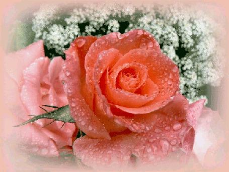 Анимация Розовая роза в каплях росы