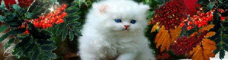 Анимация Голубоглазый белый котенок сидит между ветками с созревшей рябиной (© Solnushko), добавлено: 18.09.2015 12:07