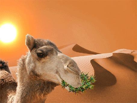 Анимация Верблюд-хозяин пустыни, жует свою любимую еду (© Миропия_Мира), добавлено: 18.09.2015 14:59