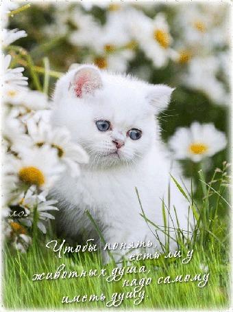 Анимация Белый голубоглазый котенок сидит на лугу среди ромашек, (Чтобы понять есть ли у животных душа, нужно самому иметь душу), автор Ассоль (© Solnushko), добавлено: 21.09.2015 12:01