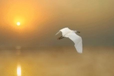Анимация Ранним утром над озером в тумане летит белая птица (© Миропия_Мира), добавлено: 28.09.2015 12:54