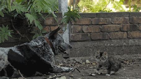 Анимация Котенок проходит мимо пса, качая головой