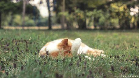 Анимация Бело-рыжий кот умывается, лежа в траве, автор Elyan Parker