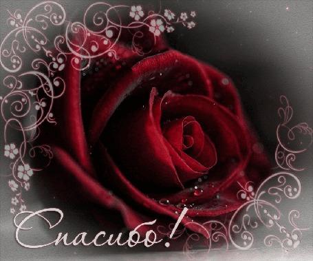 Анимация Красная роза с капельками воды на лепестках, (Спасибо)