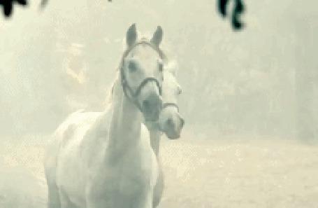 Анимация Две белые лошади бегут во время снегопада (© Thomas), добавлено: 04.10.2015 11:08