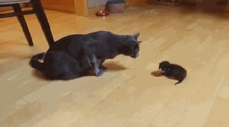 Анимация Кот пытается найти общий язык с маленьким, только что народившимся котенком, но только пугает его этим (© Anatol), добавлено: 05.10.2015 00:33