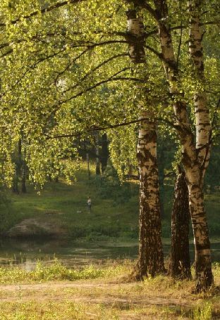 Анимация Березы на берегу реки (© Ловетта), добавлено: 11.10.2015 18:01