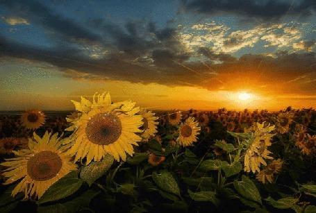 Анимация Закат над полем подсолнухов (© Ловетта), добавлено: 15.10.2015 15:40
