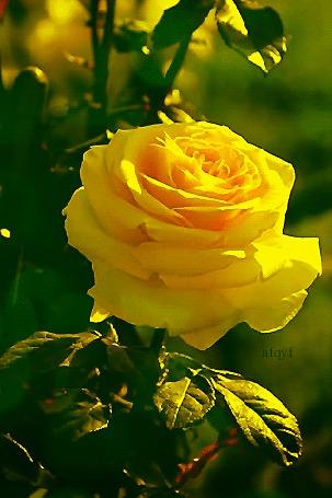 Анимация Желтая роза с листьями, nfgyf (© Natalika), добавлено: 19.10.2015 13:22