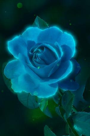 Анимация Голубая роза с листьями (© Natalika), добавлено: 21.10.2015 10:24