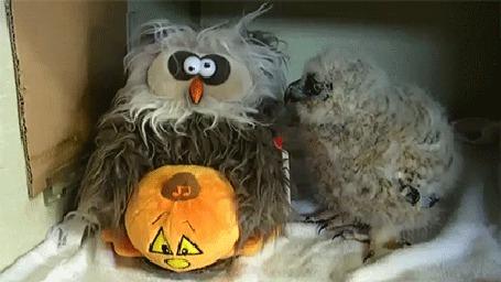 Анимация Сова, сидящая рядом с игрушечной совой с хеллоуинской тыквой, повторяет все ее движения