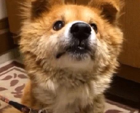 Анимация Собака так ловко съедает конфету, положенную ей на нос, что глаз не успевает это заметить (© Anatol), добавлено: 23.10.2015 13:23