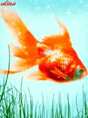 Анимация Золотая рыбка плавает в прозрачной голубой воде около водорослей, alina