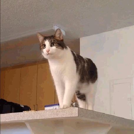 Анимация Кот умоляюще о чем–то просит хозяина (© МилаДЖИ), добавлено: 26.10.2015 10:13