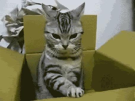 Анимация Кот играет с картонной коробкой