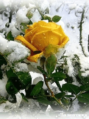 Анимация Желтая роза, усыпанная снегом, Валентина