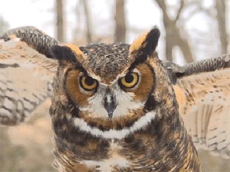 Анимация Сова размахивает крыльями и закрывает глаза (© zmeiy), добавлено: 08.11.2015 14:49