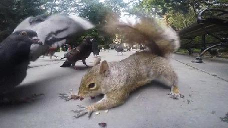 Анимация Белка с трудом отбивается от голубей, пытающих отнять у него законную добычу, орешки