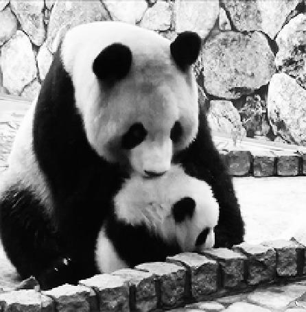 Анимация Панда баюкает свое дитя