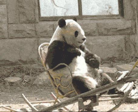 Анимация Панда качается в кресле - качалке