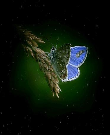 Анимация Голубая бабочка сидит на колоске под дождем