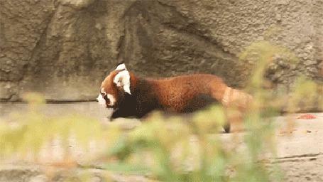 Анимация Красная панда шагает возле скалы