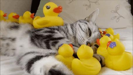 Анимация Кошка лежит в окружении резиновых уточек (© chucha), добавлено: 17.11.2015 11:12
